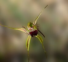 Karri Spider Orchid, Arachnorchis brownii by Julia Harwood