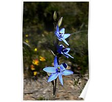 Blue Lady Orchid, Thelymitra crinita Poster