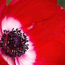 Bold anemone by Celeste Mookherjee