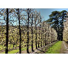 Fruit Trees in Perth Hills Photographic Print