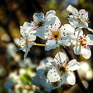 Spring Blossom # 3 by Eve Parry