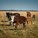 Cattle on the Estancia by photograham