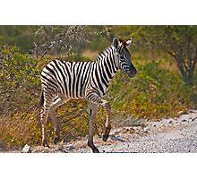 Zebra foal Photographic Print