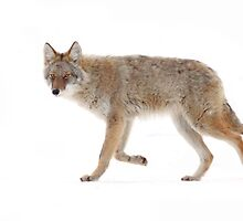 Coyote 2 by Jim Cumming