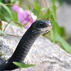 Black Racer Snake by Kathy Baccari