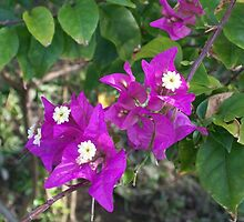 Bougainvillea by YogiColleen