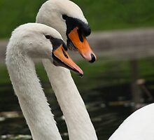 swans by guido nardacci