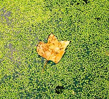 Lonely leaf by Justin Petti
