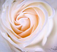 White Rose by pramodmeee