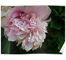 Fluttering Peony Poster