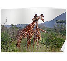 Necking - Giraffes Poster