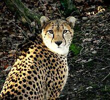 Cheetah (Acinonyx jubatus) by nellie11