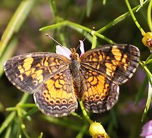 Pearl Crescent Butterfly by Robert E. Alter / Reflections of Infinity, LLC