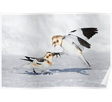 Snow Bunting Squabble. Poster