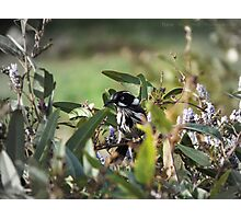 New Holland Honeyeater Hiding Photographic Print