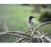 New Holland Honeyeater On Lookout Photographic Print