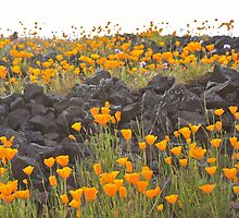 Poppies on a Volcanic Plateau by John Butler