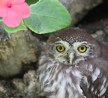 Little owl lost by Antionette