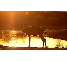 Sunset Kudu Photographic Print