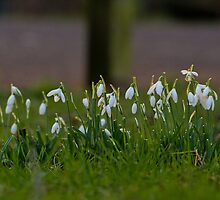 Snowdrops In January! by Lauren Tucker