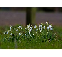Snowdrops In January! Photographic Print