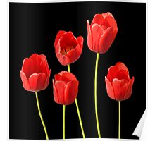 Red Tulips against a Black Background Wall Art Poster