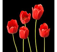 Red Tulips against a Black Background Wall Art Photographic Print