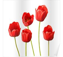 Red Tulips against a White Background Wall Art Poster