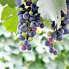 Grapes on the Vine by Glennis  Siverson