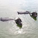 Cattle swimming in the Badami tank by Syd Winer