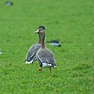 European White-fronted Goose by Jamie  Green