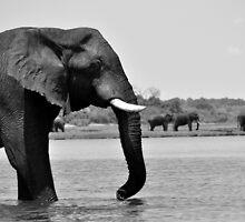 Elephant by Emma  Gilette