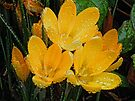 Yellow Crocuses by lynn carter