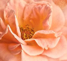 Peach Rose by Cynthia Taylor