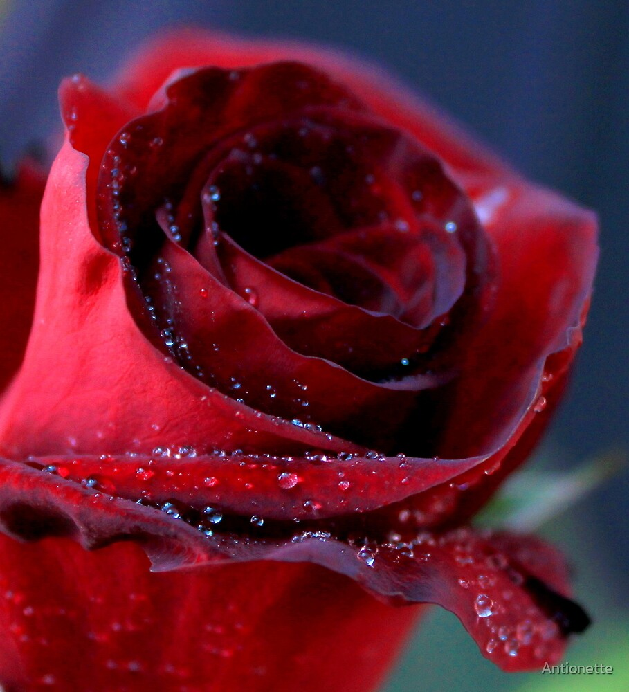 ...and this rose is for you my love... by Antionette