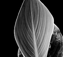 Mono Calla Leaf by Glenn Cecero