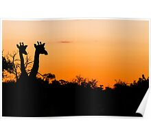 Giraffes in the African Sunset Poster