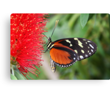 Hecale Longwing on Bottlebrush - Heliconius hecale zuleika Canvas Print