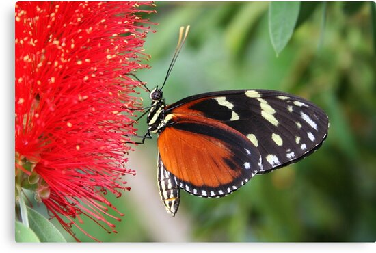 Hecale Longwing on Bottlebrush - Heliconius hecale zuleika by Lepidoptera