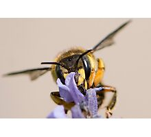 Back Off....This Lavender is Mine Photographic Print