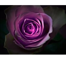 Purple rose flower closeup Photographic Print