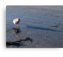 Little Gull Afraid of His Own Shadow Canvas Print