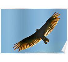 Turkey Buzzard 1 Poster