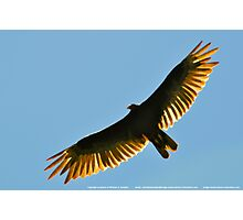 Turkey Buzzard 1 Photographic Print