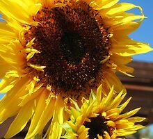Bright Yellow Sunflower by runninragged