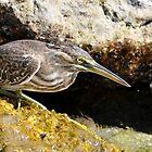 Striated Heron - Close Up by Sammy77