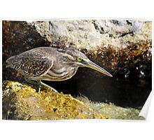 Striated Heron - Close Up Poster