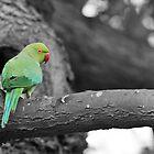 Parakeet by Sammy77