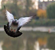 Pigeon in Flight by Sammy77