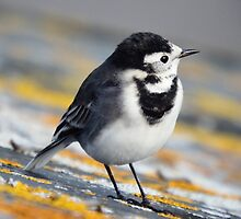 Pied Wagtail by Deb Vincent